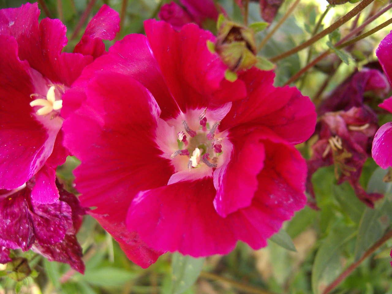 Godetia grandiflora (Clarkia amoena) – godecja wielkokwiatowa, azalia letnia, marszawa