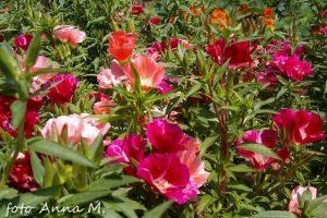 Godetia grandiflora - godecja wielkokwiatowa