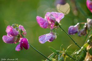 Lathyrus odoratus - groszek pachnący