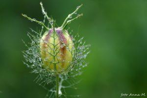 Nigella damascena - czarnuszka damasceńska, owoc