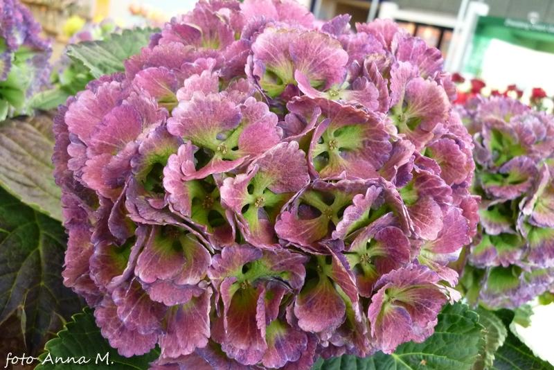 Kwiatostany hortensji nadają się do zasuszania