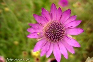 Xeranthemum annuum - suchokwiat roczny
