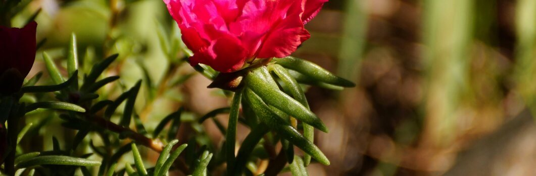 Portulaca grandiflora – portulaka wielkokwiatowa