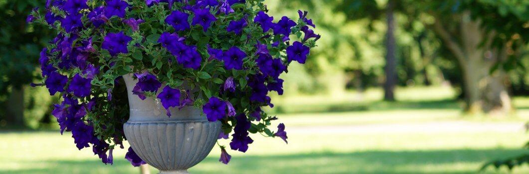 Petunia x hybrida – petunia ogrodowa
