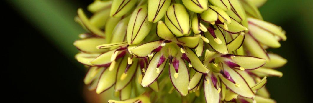 Eucomis comosa – eukomis kosmata, warkocznica, lilia ananasowa, lilia grzywiasta