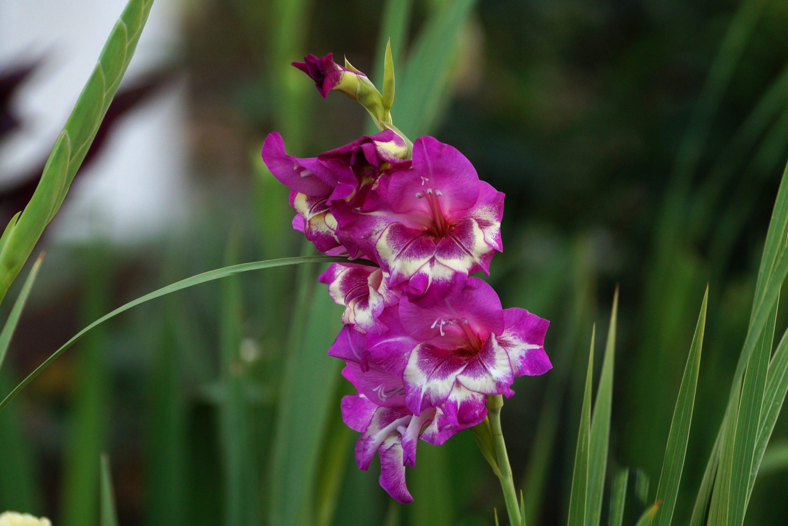 Gladiolus x hybridus – mieczyk ogrodowy