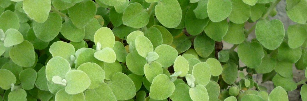 Helichrysum petiolare, Gnaphalium lanatum – kocanki włochate, gnafalium