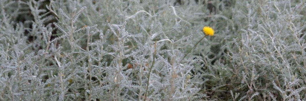 Santolina chamaecyparissus – santolina cyprysikowata