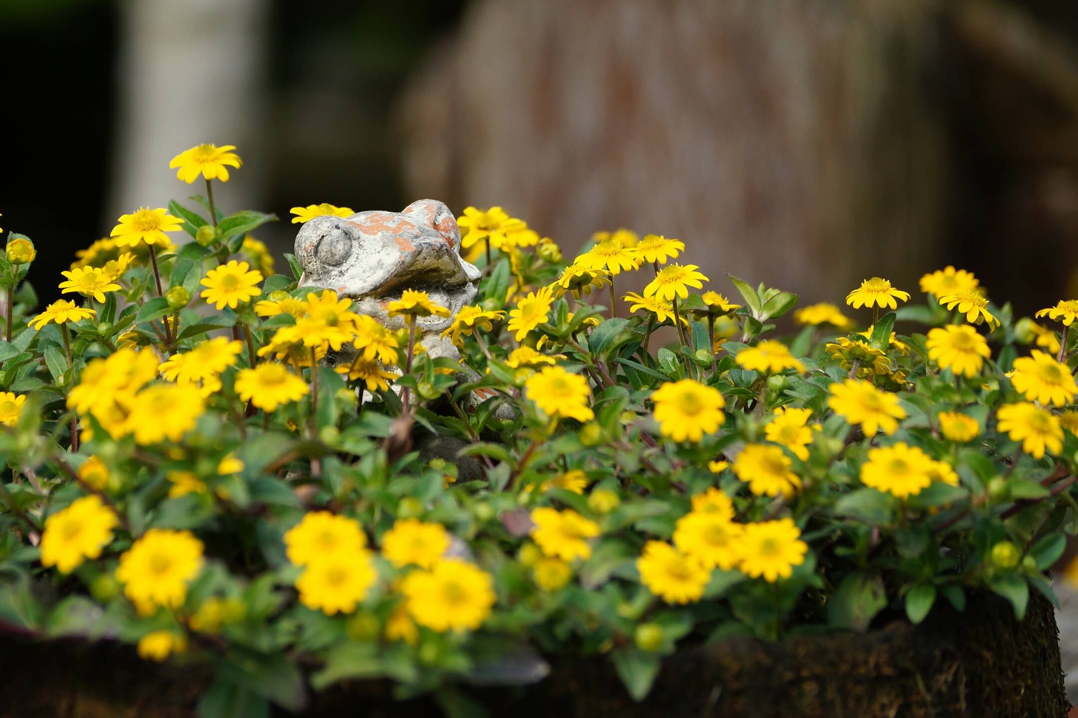 Sanvitalia procumbens – sanwitalia rozesłana, polegnatka