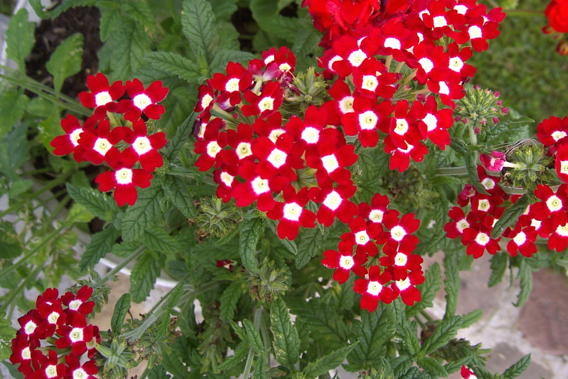 Verbena x hybrida – werbena mieszańcowa