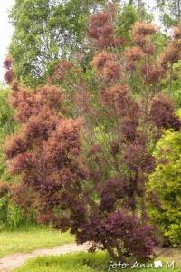 Cotinus coggygria - perukowiec podolski