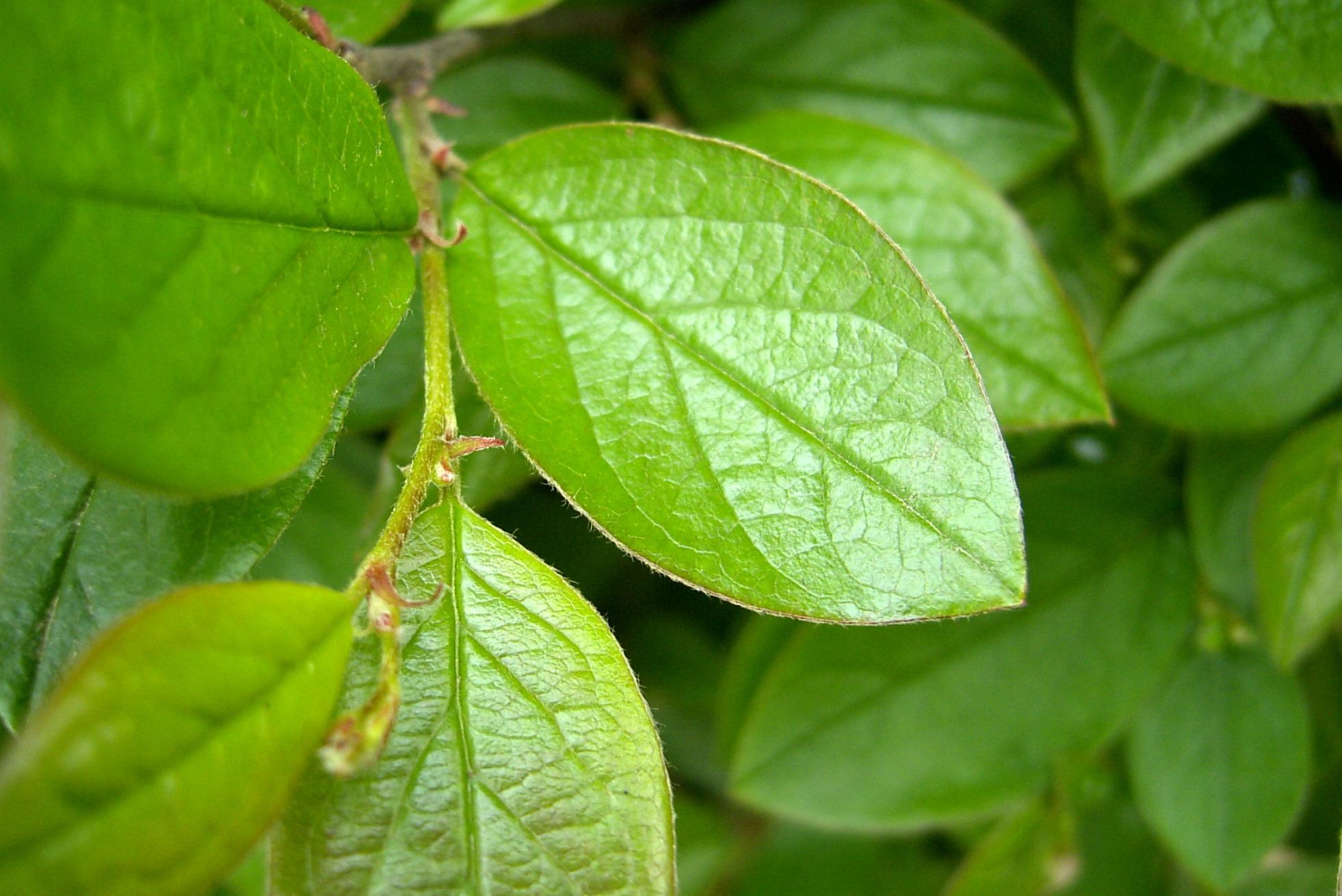 Cotoneaster lucida – irga błyszcząca