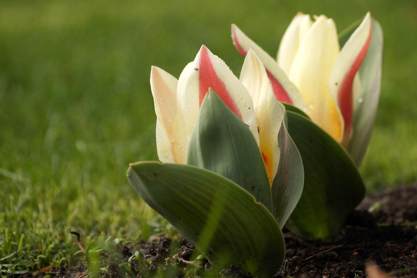 Tulipa kaufmanniana – tulipan Kaufmanna