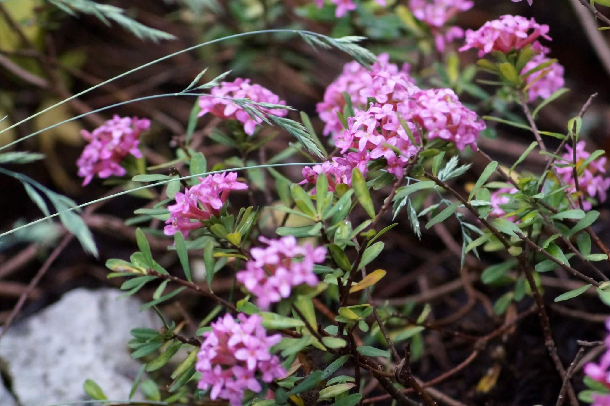 Daphne cneorum – wawrzynek główkowy