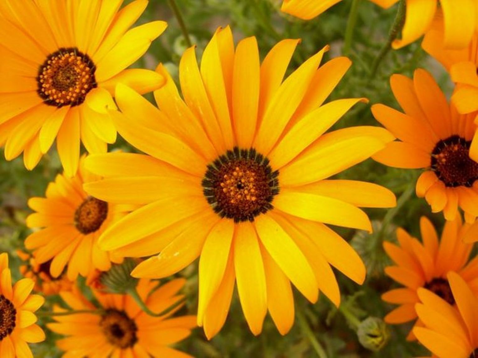 Dimorphoteca sinuata – dimorfoteka zatokowa, złotokwiat