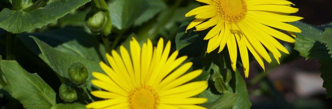 Doronicum orientale, Doronicum caucasicum – omieg kaukaski, żółte margerytki