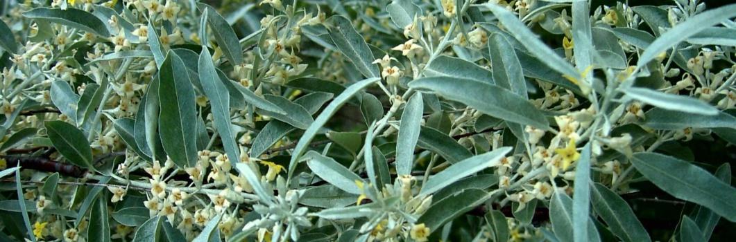 Elaeagnus angustifolia – oliwnik wąskolistny
