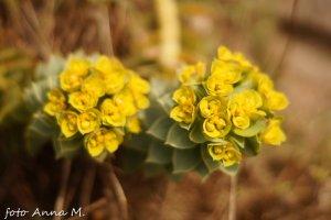 Euphorbia myrsinites, Tithymalus myrsinites – wilczomlecz mirtowaty