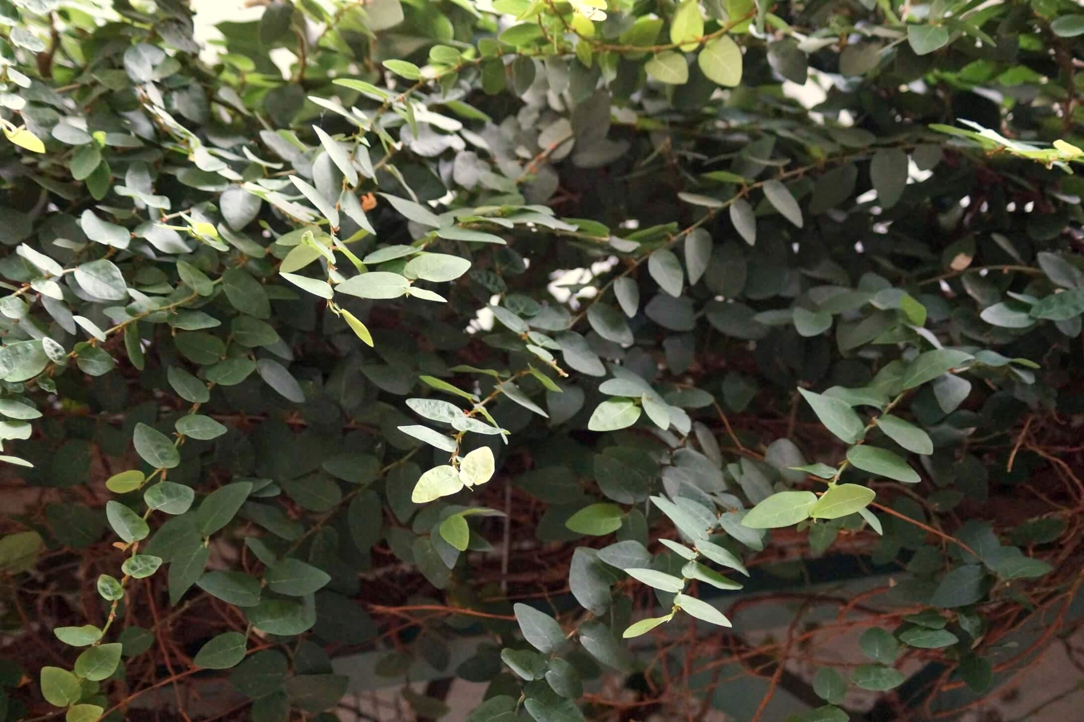 Ficus pumila – figowiec pnący