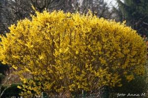 Forsythia x intermedia - forsycja pośrednia
