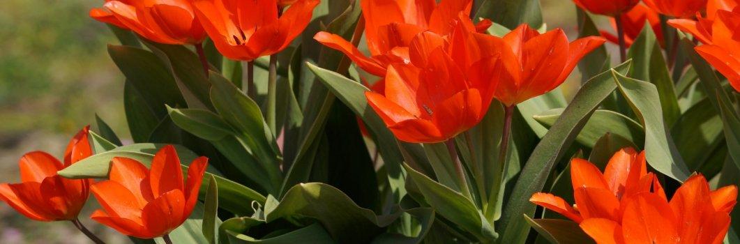 Tulipa fosteriana – tulipan Fostera