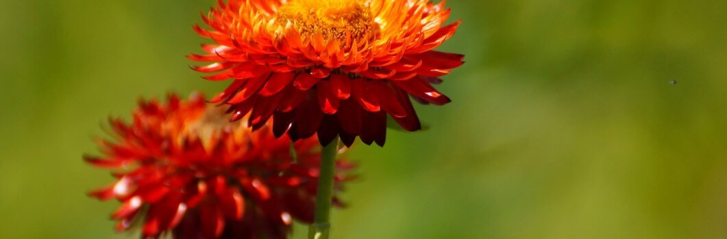 Helichrysum bracteatum – kocanki ogrodowe