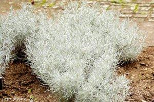 Helichrysum italicum – kocanki włoskie
