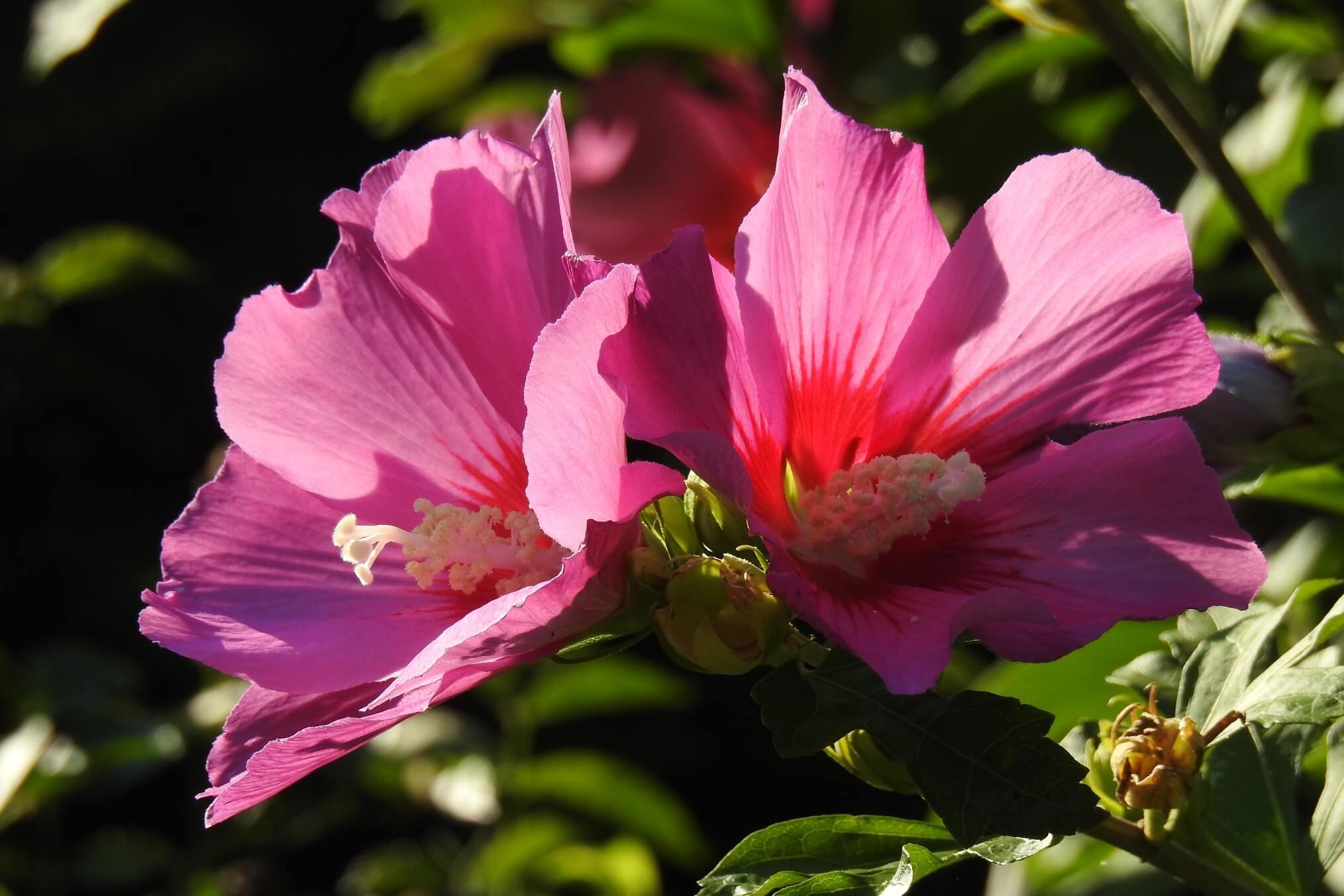Hibiscus syriacus – ketmia syryjska