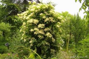 Hydrangea petiolaris - hortensja pnąca