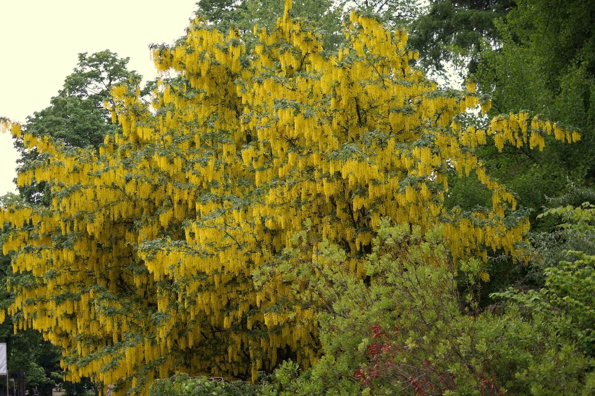Laburnum anagyroides – złotokap pospolity, złotodeszcz