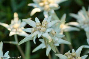 Leontopodium alpinum - szarotka alpejska