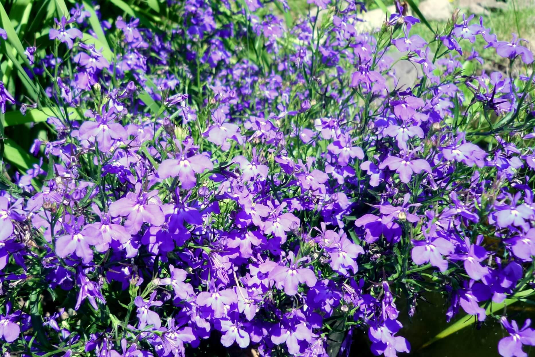 Lobelia erinus – lobelia przylądkowa
