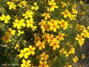 Tagetes tenuifolia – aksamitka wąskolistna
