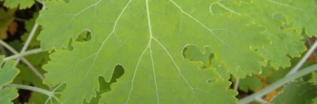 Macleaya cordata – bokkonia sercowata
