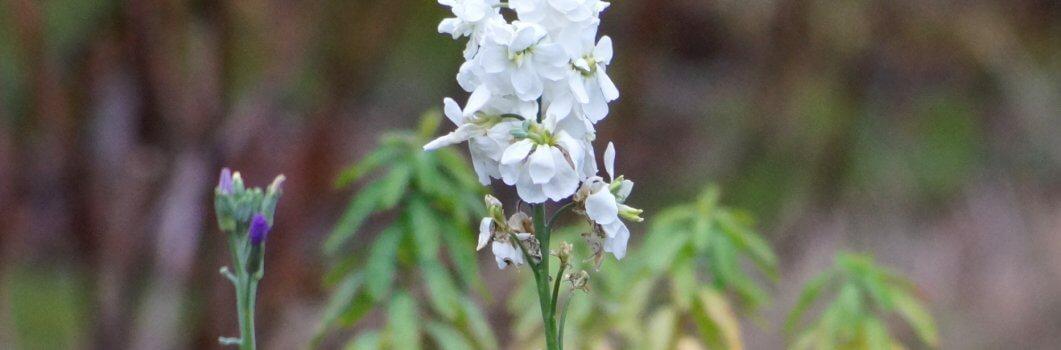 Matthiola incana – lewkonia letnia