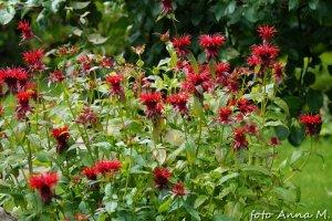 Monarda x hybrida - pysznogłówka ogrodowa