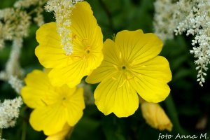 Oenothera missouriensis – wiesiołek missouryjski
