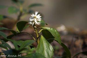 Pachysandra terminalis - runianka japońska
