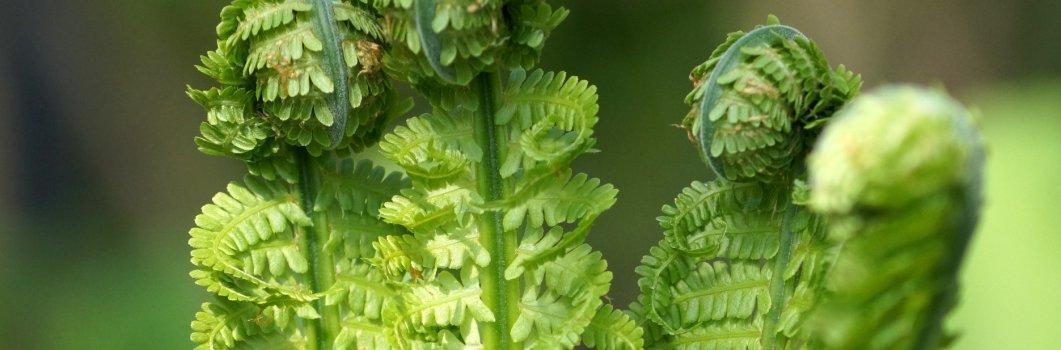 Matteuccia struthiopteris – pióropusznik strusi