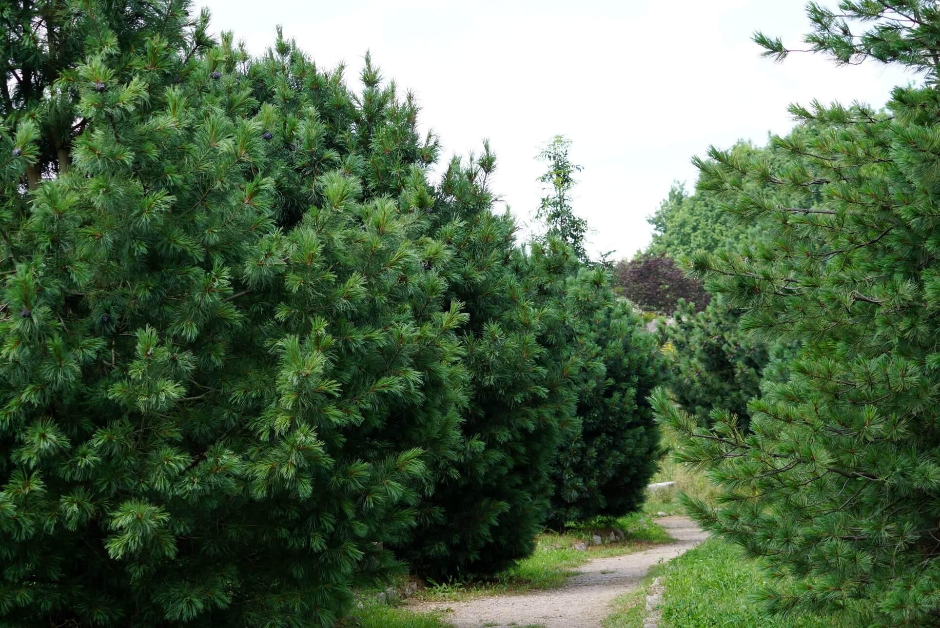 Pinus cembra – sosna limba