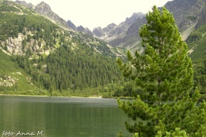 Pinus cembra - sosna limba