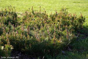 Pinus mugo - sosna kosodrzewina, kosówka