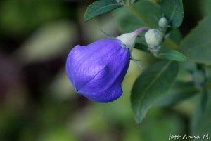 Platycodon grandiflorus - rozwar wielkokwiatowy, charakterystycznie rozdęty pąk kwiatowy