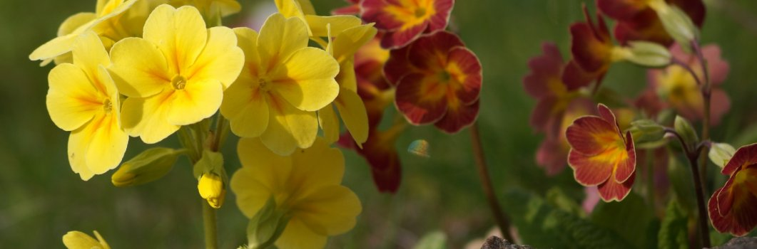 Primula elatior – pierwiosnek wyniosły