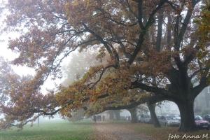 Quercus robur - dąb szypułkowy, aleja dębowa, Szczecin
