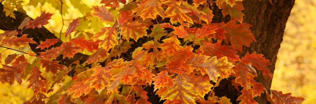 Quercus – dąb