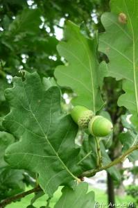 Quercus robur - dąb szypułkowy