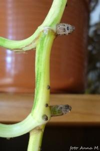 Raphidophora aurea - rafidofora złota, korzenie przybyszowe