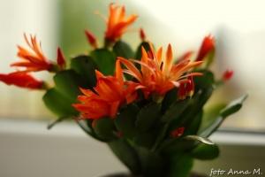 Rhipsalidopsis - ripsalidopsis, kaktus wielkanocny