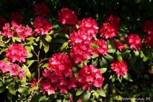 Rhododendron catawbiense - różanecznik katawbijski, mój działkowy